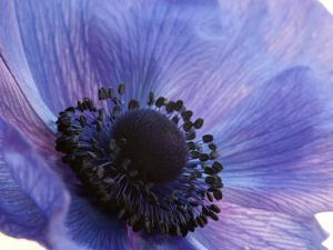 Close Up of a Blue Anemone Flower by Darlyne A. Murawski