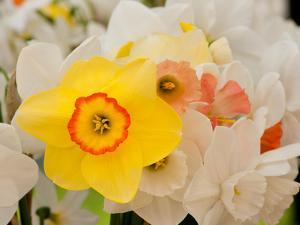 Close Up of a Bouquet of Daffodil Flowers, Narcissus Species by Darlyne A. Murawski