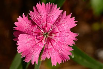 Close up of a Carthusian pink flower, Dianthus carthusianorum, in a garden. by Darlyne A^ Murawski