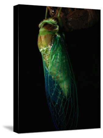Close-up of a Cicada