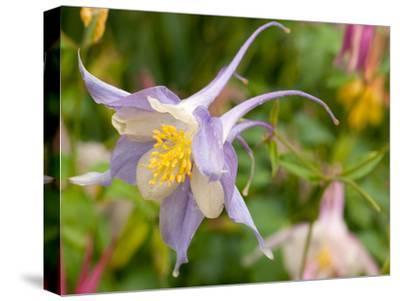Close Up of a Columbine Flower, Aquilegia Species, in Spring
