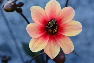 Close up of a dahlia flower with a bumblebee. by Darlyne A^ Murawski