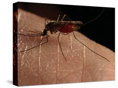 Close-up of a Mosquito Drinking Blood