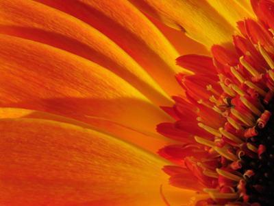 Close Up of a Orange Gerbera Daisy, Gerbera Species by Darlyne A^ Murawski