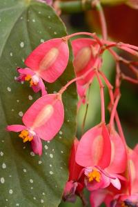 Close Up of a Pink Begonia Flowers of a Variety with Speckled Foliage by Darlyne A. Murawski