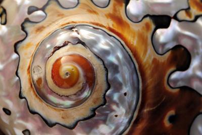Close Up of a Polished Moon Snail Shell by Darlyne A^ Murawski