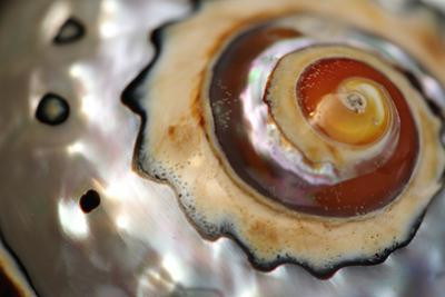 Close Up of a Polished Moon Snail Shell by Darlyne A^ Murawski