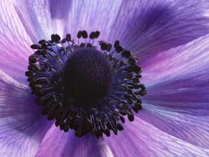 Close Up of a Purple Anemone Flower, Anemone Coronari by Darlyne A. Murawski