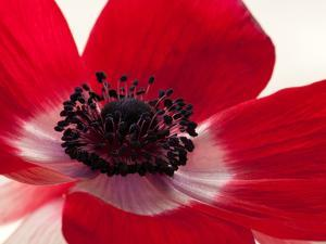 Close Up of a Red Anemone Flower by Darlyne A. Murawski