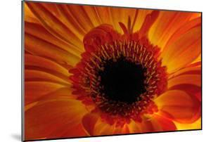 Close Up of an Orange Gerbera Daisy, Gerbera Species by Darlyne A. Murawski