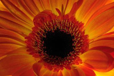 Close Up of an Orange Gerbera Daisy, Gerbera Species by Darlyne A^ Murawski