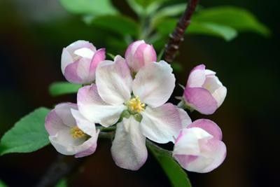 Close Up of Apple Flowers, Malus Species, in Cape Breton Highlands National Park by Darlyne A^ Murawski