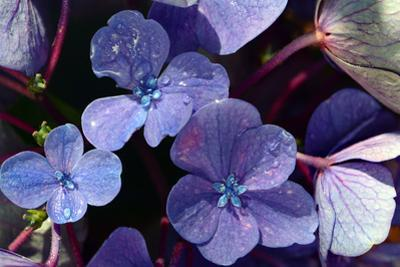 Close up of Hydrangea flowers in mid-August on Cape Cod. by Darlyne A^ Murawski