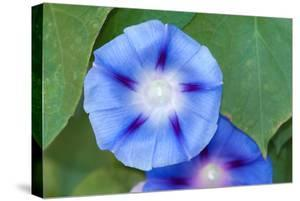 Close Up of Morning Glory Flowers and Leaves, Ipomoea Species by Darlyne A^ Murawski