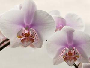 Close Up of Phalaenopsis Orchid Blossoms by Darlyne A. Murawski