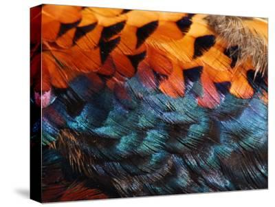 Close-Up of Pheasant Feathers Showing Iridescence and Pattern, Medicine Rocks, Montana, USA
