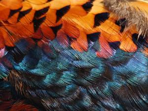 Close-Up of Pheasant Feathers Showing Iridescence and Pattern, Medicine Rocks, Montana, USA by Darlyne A. Murawski