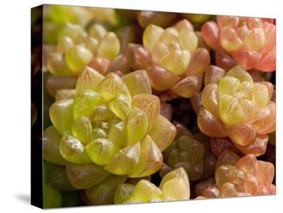 Close Up of Succulent Window Haworthia, Haworthia Cymbiformis