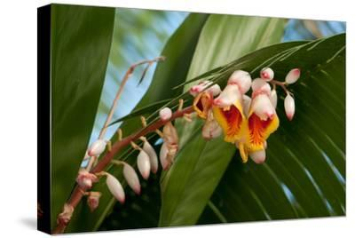 Close Up of the Flowers and Buds of a Shell Ginger Plant, Alpinia Speciosa