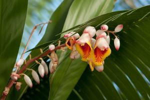 Close Up of the Flowers and Buds of a Shell Ginger Plant, Alpinia Speciosa by Darlyne A. Murawski