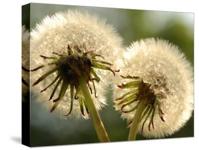 Close-Up of Two Dandelions, Arlington, Massachusetts, USA