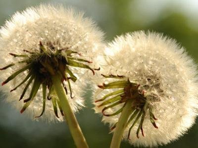 Close-Up of Two Dandelions, Arlington, Massachusetts, USA