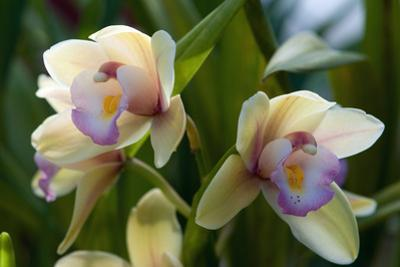 Close Up of Two Orchid Flowers by Darlyne A^ Murawski