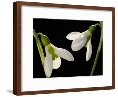 Close Up of Two Snowdrop Flowers, Galanthus Species