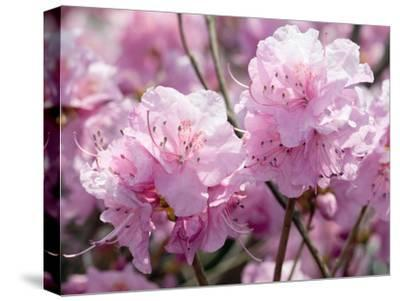 Close Up of Weeping Cherry Blossoms, Prunus Subhirtella Var. Pendula