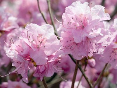 Close Up of Weeping Cherry Blossoms, Prunus Subhirtella Var. Pendula by Darlyne A^ Murawski