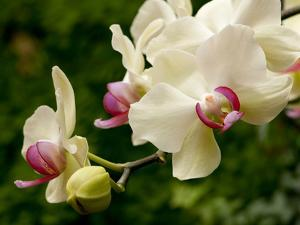 Close Up of White and Pink Moth Orchids, Phalaenopsis Species by Darlyne A. Murawski
