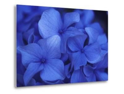 Close View of Blue Hydrangea Flowers, Cape Cod, Massachusetts