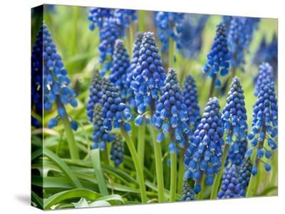 Close View of Grape Hyacinth Flowers, Muscari Species, in Springtime