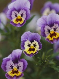 Close View of Pansy Blossoms by Darlyne A. Murawski