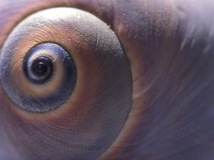 Close View of the Shell of a Moon Snail, Lunatia Heros, Cape Cod, Massachusetts by Darlyne A. Murawski