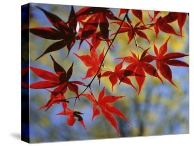 Close Views of Japanese Maple Leaves