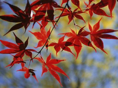 Close Views of Japanese Maple Leaves by Darlyne A^ Murawski