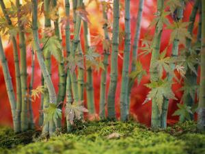 Cluster of Bonsai Japanese Maple Trees, New York by Darlyne A. Murawski