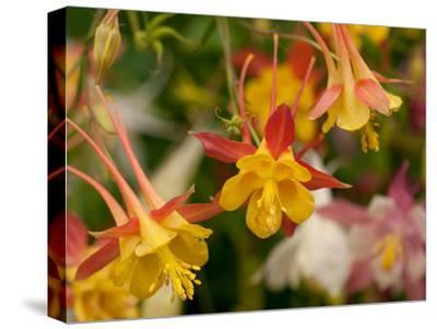 Cluster of Red and Yellow Columbine Flowers, Aquilegia Species