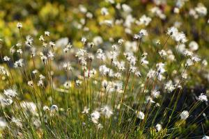 Common Cotton-Grass Dispersing its Fluffy Seeds in the Wind by Darlyne A. Murawski