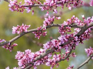 Flowering Branches of Eastern Redbud, Ceris Canadensis, in Spring by Darlyne A. Murawski