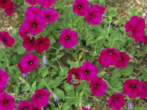 Glowing Magenta Petunias in Bloom by Darlyne A. Murawski