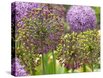 Group of Allium Inflorescences with Flowers and Buds