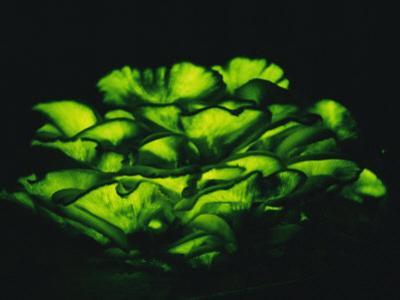 Jack-O-Lantern Mushrooms Glowing Green at Night by Darlyne A^ Murawski