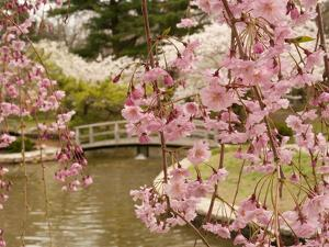 Japanese Garden with Weeping Higan Cherry Blossoms in Foreground by Darlyne A. Murawski