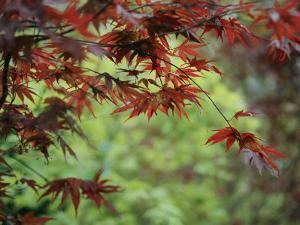 Japanese Maple Leaves by Darlyne A. Murawski