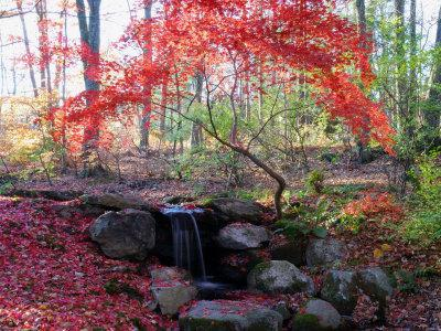 Japanese Maple Tree with Red Leaves in the Fall, Next to a Waterfall, New York