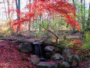 Japanese Maple Tree with Red Leaves in the Fall, Next to a Waterfall, New York by Darlyne A. Murawski