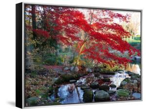 Japanese Maple with Colorful, Red Foliage at a Stream's Edge, New York by Darlyne A^ Murawski