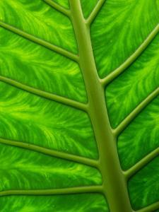 Large Arum Leaf Up Close, Showing Veins and Color Pattern by Darlyne A. Murawski